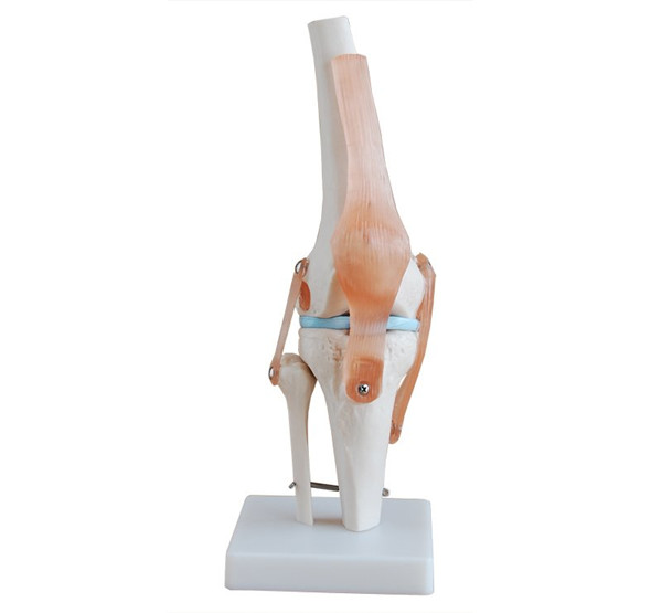 Life Size PVC Knee Joint bone skeleton muscle anatomical medical teaching  Model