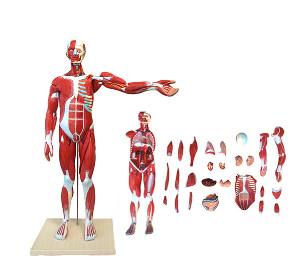 Median Whole Body human Muscled anatomical Model 27 Parts