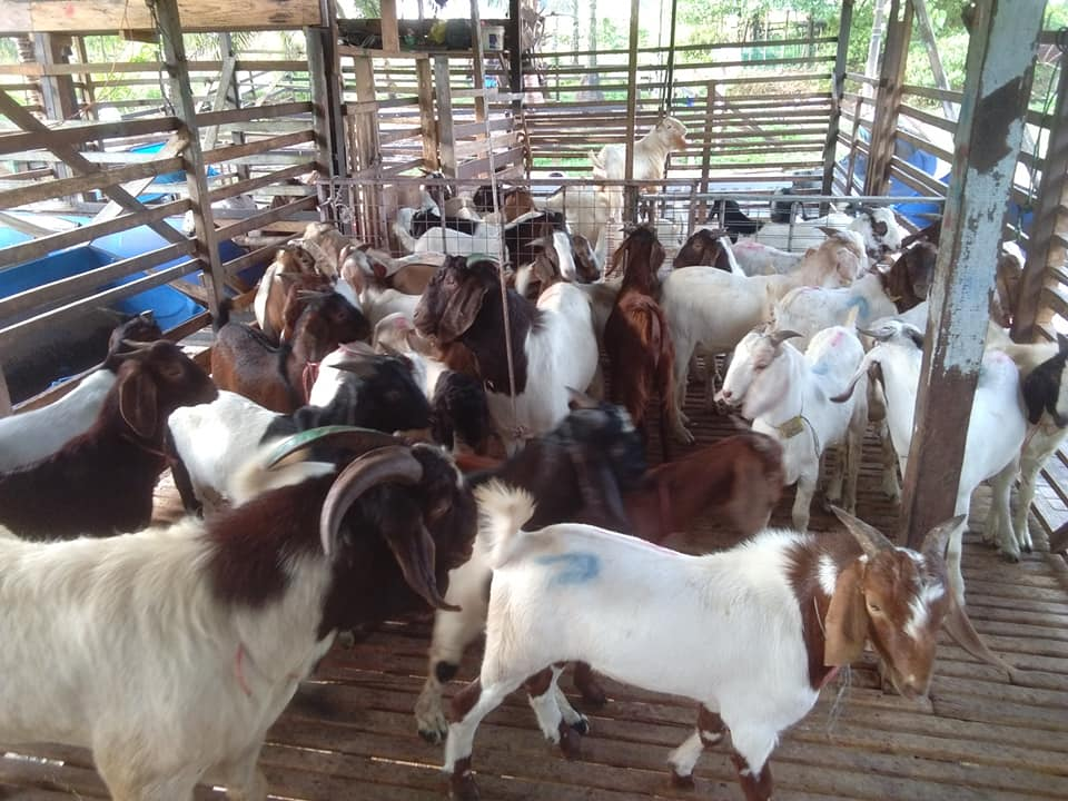 Brahman, Bonsmara, Cows, bulls and calves available all time hrlivestockcoltd.co.za/wp