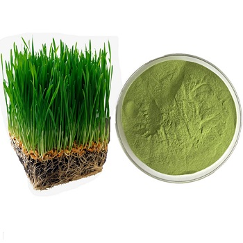 Barley Grass Powder / Barley Grass Juice Powder/ Barley Bleedling Powder