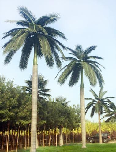 Artificial Royal Coco Palm