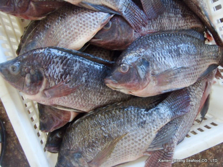 tilapia   for sale