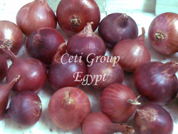 red onion Egypt